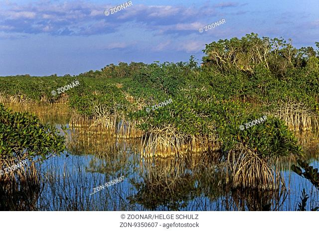Rote Mangroven in den Everglades / Red Mangroves in the Everglades / Everglades Nationalpark - Florida