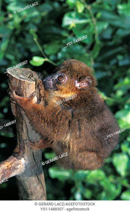Collared Brown Lemur, eulemur collaris, Adult standing on Branch