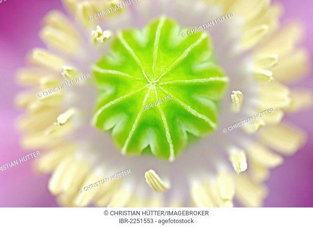 Pink Opium Poppy (Papaver orientale), flowering