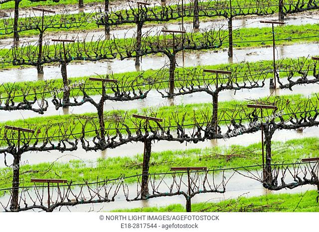 USA, CA, Healdsberg. Rainsoaked vineyards in the wintertime. The Sonoma Valley wine region is famous for making fine Zinfandel