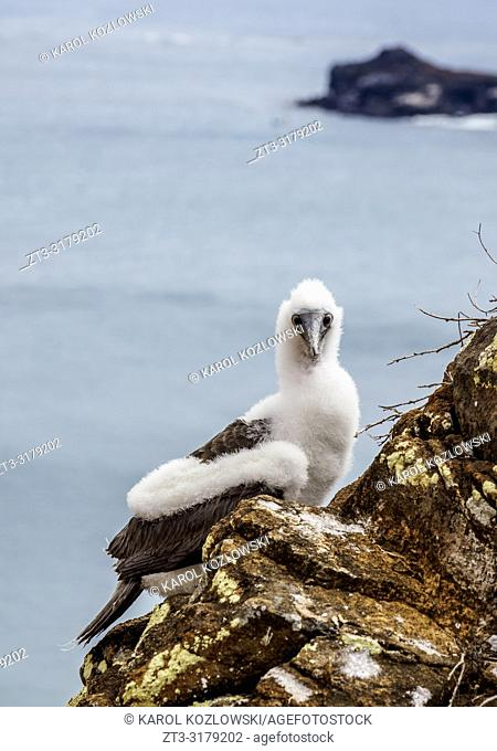 Blue-footed booby juvenile (Sula nebouxii), Punta Pitt, San Cristobal or Chatham Island, Galapagos, Ecuador