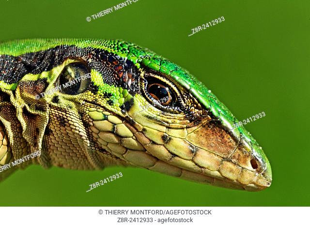 Ameiva ameiva. Green ameiva. South american ground lizard, very common in the gardens and in the forests opened areas. French Guiana