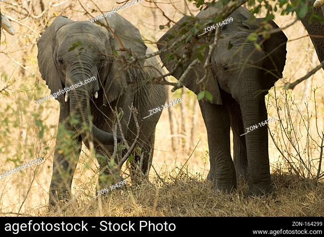 Young african elephants in the bush of the krger nationalpark southafrica
