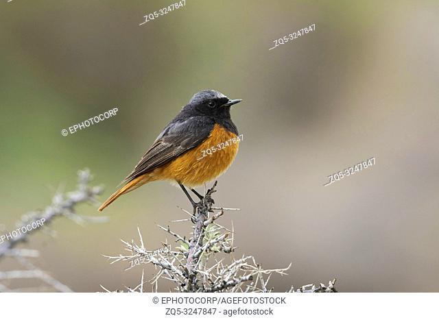Black Redstart, Phoenicurus ochruros, Nubra Valley, Ladakh, Jammu and Kashmir, India