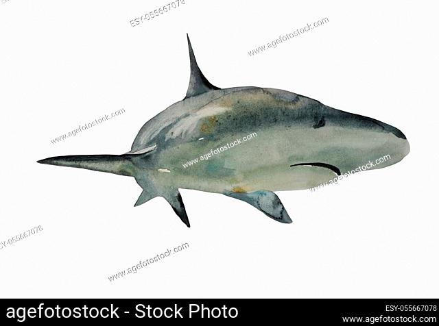 Watercolor great shark illustration, front view with turn. Original realistic hand painted art isolated on white background
