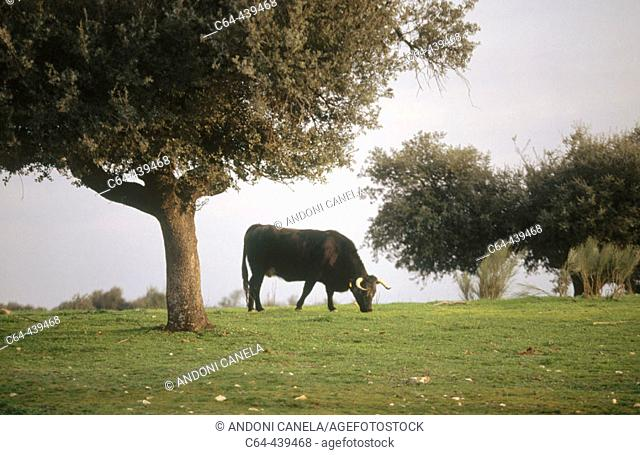 Bull. Doñana National Park. Andalucia. Spain