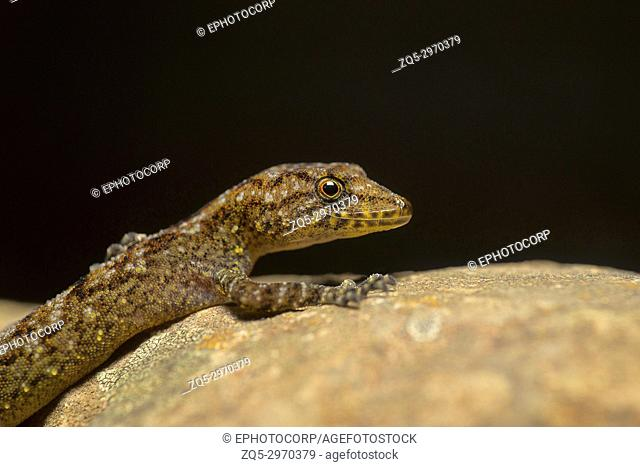 Giri's Day Gecko, Cnemaspis girii, Kaas, Maharashtra, India. Named in honour of Dr. Varad Giri of Bombay Natural History Society