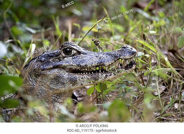 Paraguayan Caiman Pantanal Brazil Caiman crocodilus yacare Yacare caiman side
