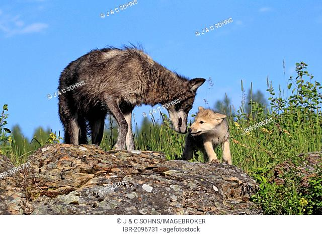 Eastern Wolf (Canis lupus lycaon), adult female and pup, eight weeks, begging, Montana, USA, North America