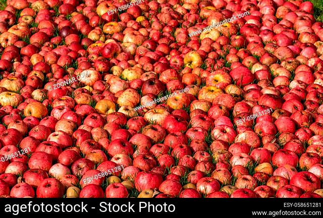 Hundreds of apples laying on the ground after a bumper harvest