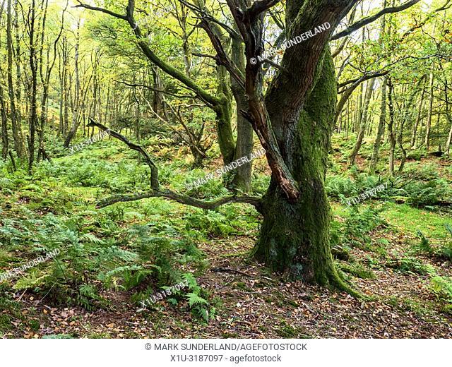 Gnarled mossy tree in Skrikes Wood in autumn near Pateley Bridge North Yorkshire England