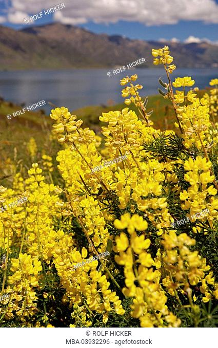 New Zealand, South-island, Central Otago, lake Hawea, yellow lupines, Lupinus luteus, bloom, detail, fuzziness, landscape nature vegetation botany plants