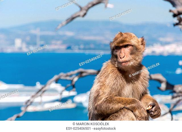 closeup of barbary macaque monkey in gibraltar