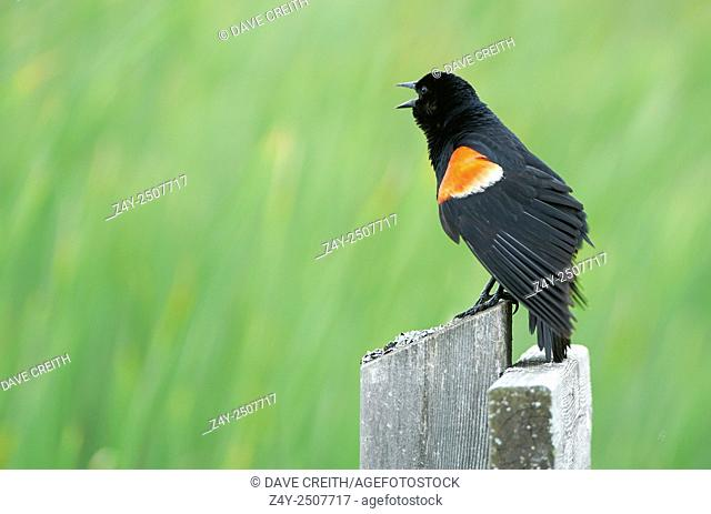 Red winged blackbird (Agelaius phoeniceus) calling in Wye Marsh, Midland, Ontario, Canada