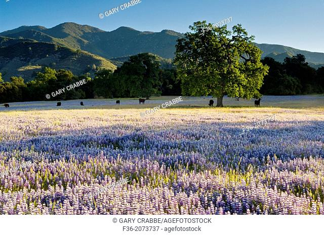 Field of purple lupine wildflowers and oak trees in Spring, Ventana Wilderness, Los Padres National Forest, California