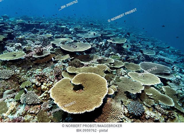 Reef flat with Acropora table coral (Acropora hyacinthus), Indian Ocean, Bolifushi, South Malé Atoll, Maldives