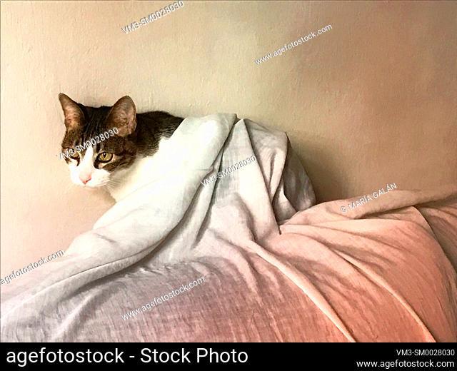 Tabby and white cat hidden under a sheet