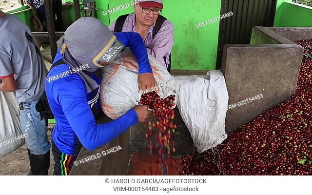 People downloading sacks of coffee beans in pools to be pulped with Threshers. Coffee Plantation Farm in the rural area of Huila. Colombia