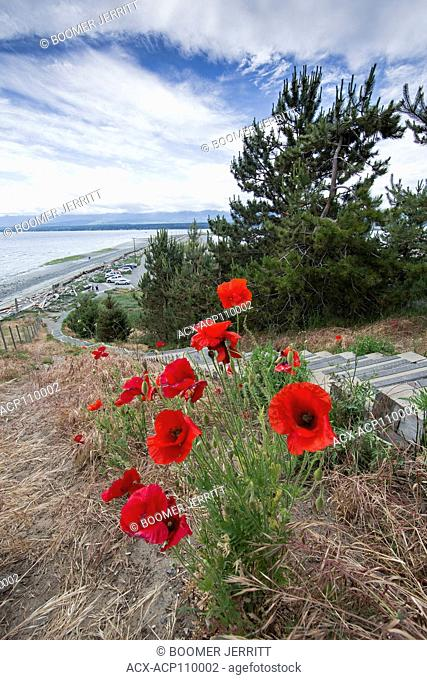 Red poppies line 168 stairs, popular for walking and running up at the Goose Spit Regional Park in Comox
