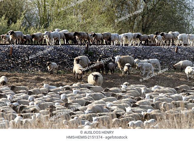 France, Somme, Baie de Somme, shepherd and sheep salt meadows (Ovis aries)