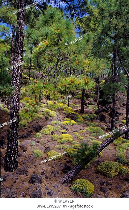 Canary pine Pinus canariensis, pinewood with Lotus campylocladus in the mountains of Tenerife, Canary Islands, Tenerife
