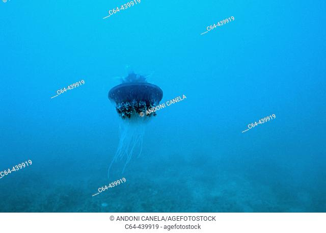 Jellyfish. Great Barrier Reef. North of Cooktown. Cape York peninsula. Queensland. Australia