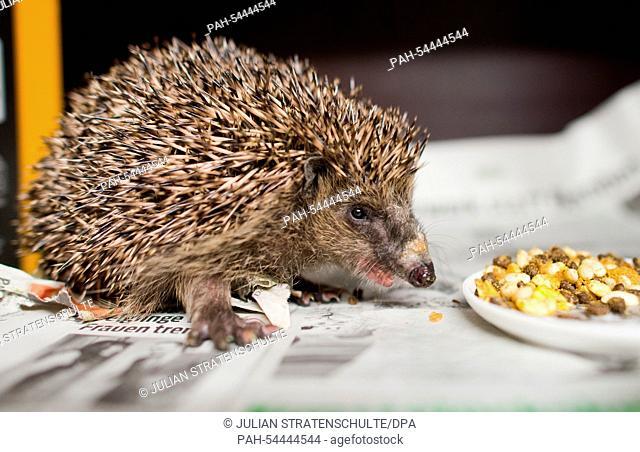 A hedgehog prepares for hibernation at the 'Aktion Tier Igelzentrum Niedersachsen' (Operation animal hedgehog-centre Lower Saxony) in Laatzen near Hannover
