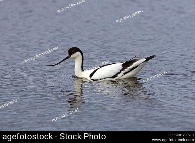 Pied avocet (Recurvirostra avosetta) swimming in water of saltmarsh / wetland