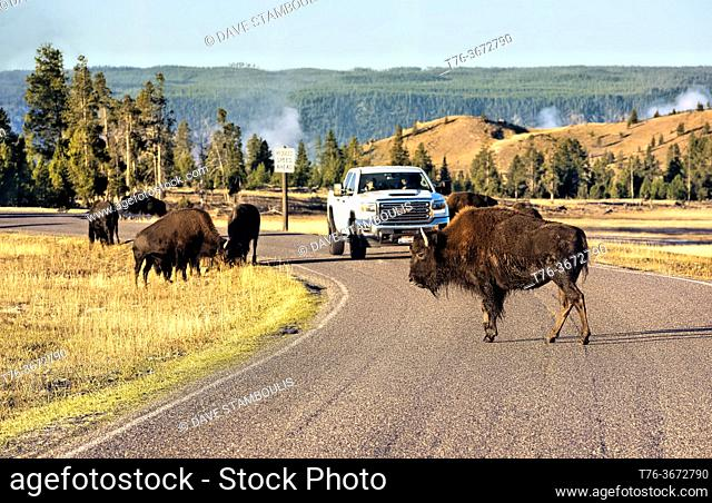 Bison crossing the road in the Hayden Valley, Yellowstone National Park, Wyoming, USA