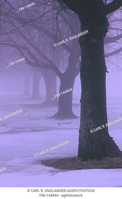 Trees in fog. New Jersey. USA