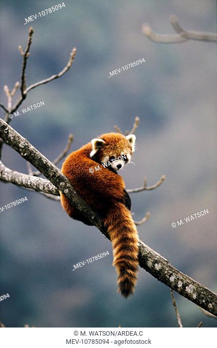 RED PANDA - on branch (Ailurus fulgens)
