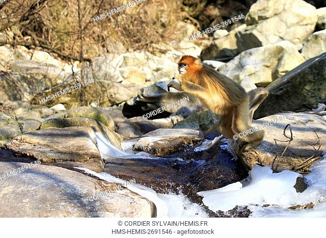 China, Shaanxi province, Qinling Mountains, Golden Snub-nosed Monkey (Rhinopithecus roxellana), near a river, jumping over the water