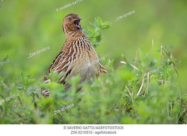 Common Quail (Coturnix coturnix), adult male singing in an Alfalfa field