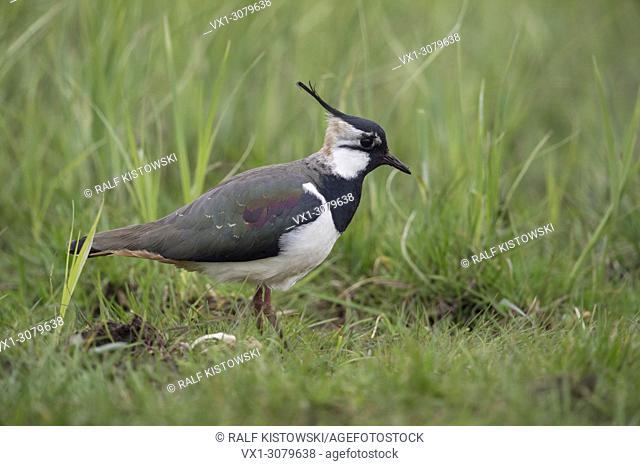 Northern Lapwing ( Vanellus vanellus ), adult female, in an extensive meadow, typical surrounding, wildlife, Europe.