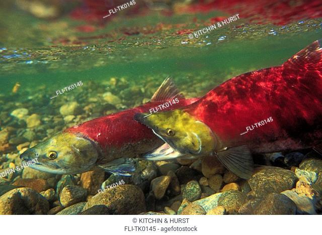 Sockeye Salmon male biting female  Migration  Pacific Coast  Oncorhynchus nerka