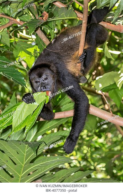 Mantled Howler Monkey (Alouatta palliata) feeding on tree leaves in rainforest canopy, Cahuita National Park, Limon, Costa Rica
