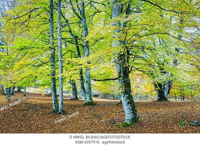 Beechwood. Sierra de Urbasa-Andia Natural Park. Navarre, Spain, Europe