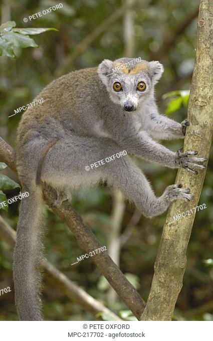 Crowned Lemur Eulemur coronatus, female sitting in tree, vulnerable species, Ankarana Special Reserve, northern Madagascar