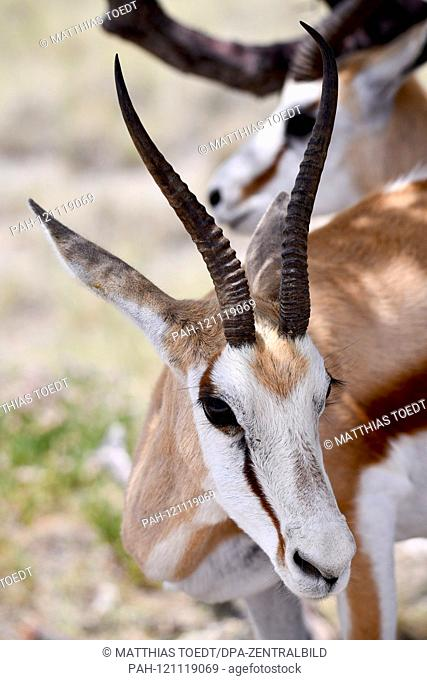 Springbok (Antidorcas marsupialis) in the Namibian Etosha National Park. This antelope species is distributed exclusively throughout Southern Africa