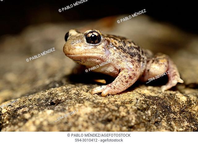 Iberian midwife toad (Alytes cisternasii) in Valdemanco, Madrid, Spain
