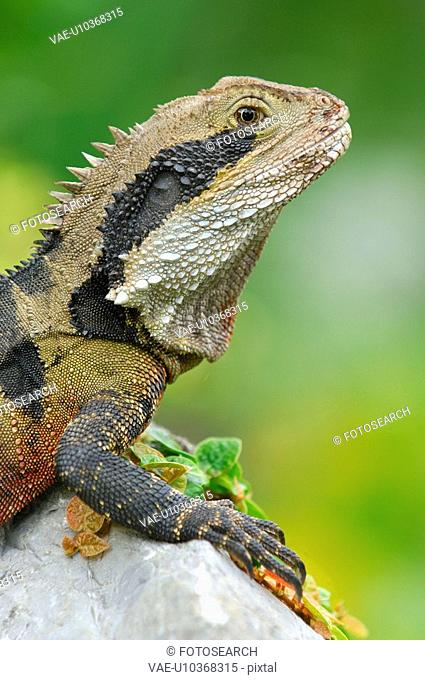 dragon, animal, creature, concinchina, Australia, huwiler, agame