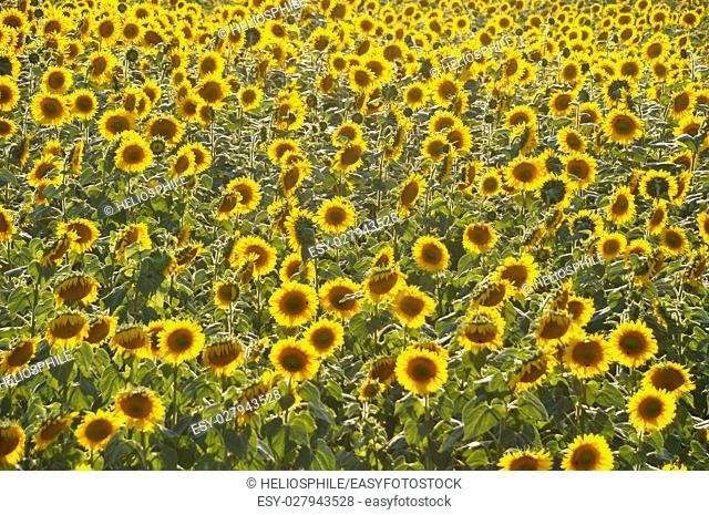 sun flower field in Dordogne