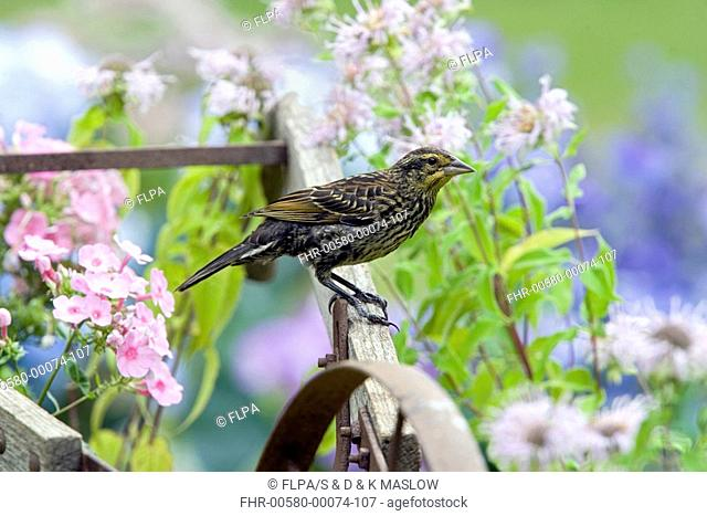 Red-winged Blackbird Agelaius phoeniceus adult female, perched on old plough, U S A