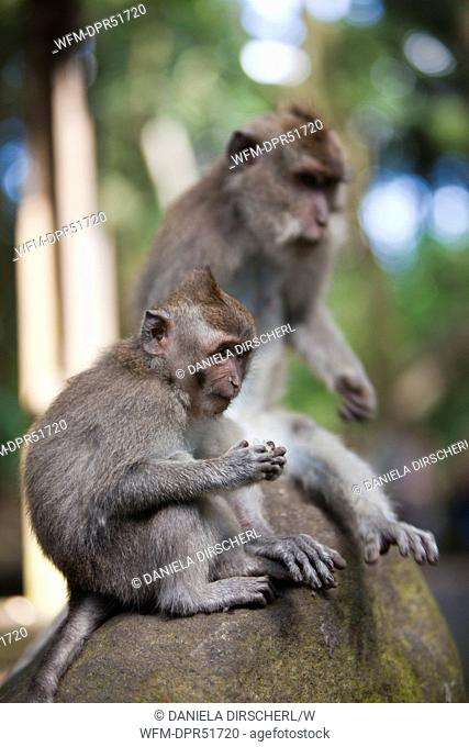 Longtailed Macaques, Macaca fascicularis, Bali, Indonesia
