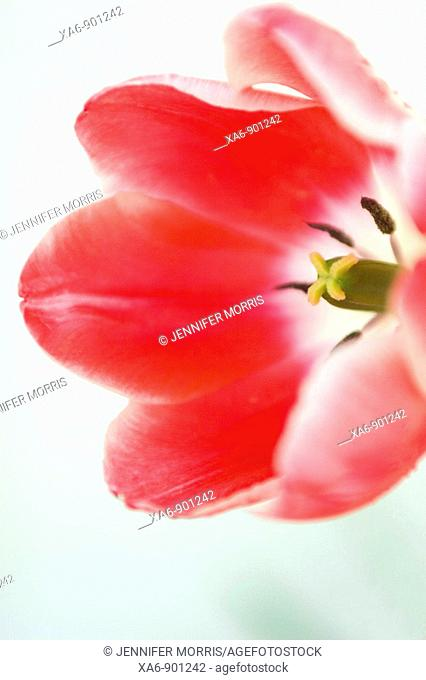 A bright red tulip against a white background