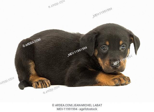 Beauceron Dog, puppy