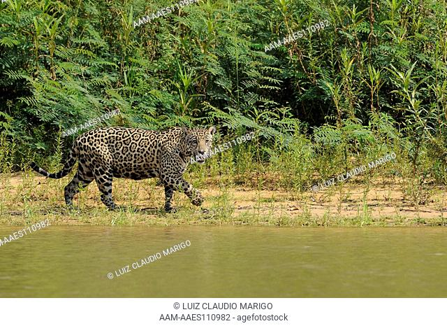 Female Jaguar (Panthera onca) on the shore of Piquiri River, in the Pantanal of Mato Grosso State, Center-West of Brazil