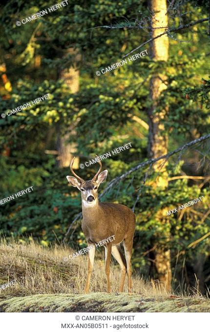Mule Deer, Pender Island, British Columbia, Canada