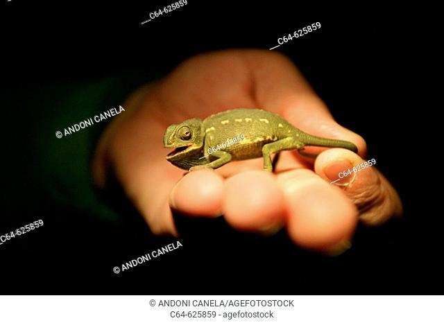 Common Chameleon (Chamaeleo chamaeleon). Cadiz. Andalucia. Spain