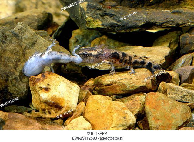 European fire salamander (Salamandra salamandra, Salamandra salamandra terrestris ), cannibalism, larva of an European fire salamander, Germany